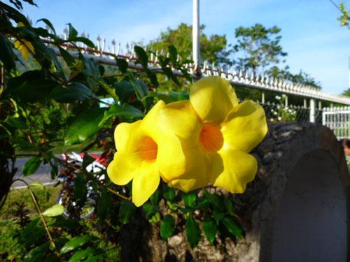 yellow flowers camiguin.jpg
